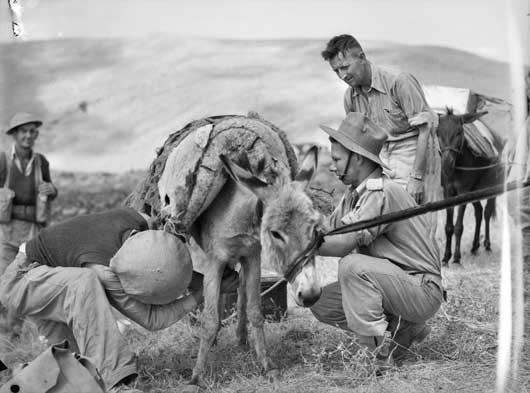Members of C Company, 2/33rd Battalion loading up a donkey with rations and ammunition to supply troops occupying a strategic position overlooking one of the mountain roads to Merdjayoun (AWM 008205).